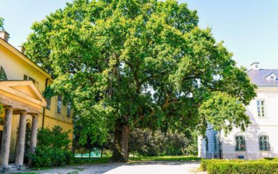 Döntőben a kastélykerti Nagy Tölgyfa